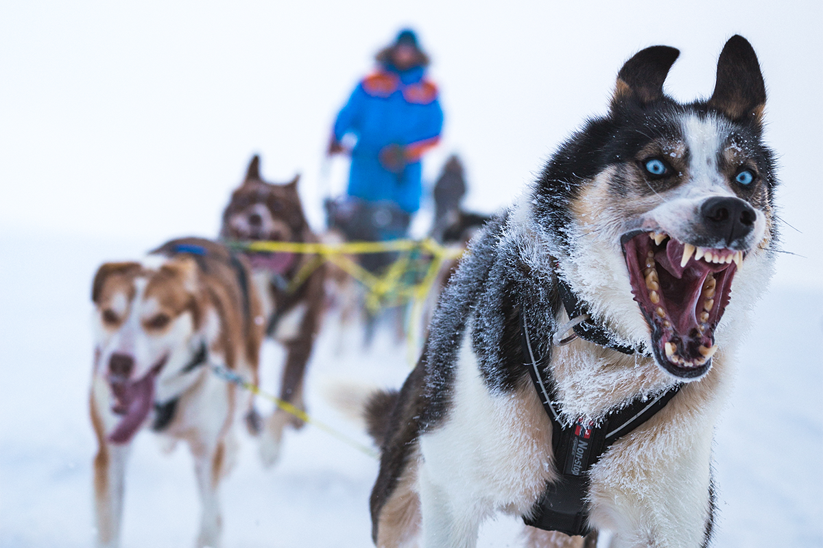 Tromsø Wilderness Centre's lead dog, Spiker, leads the pack
