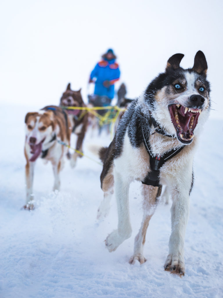 Spiker, the lead dog, pushes the team to the finish line