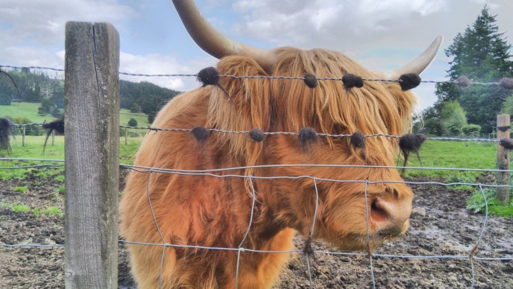 """A customer uploaded photo of a """"hairy coo"""" on The Hairy Coo's Trip Advisor review page"""
