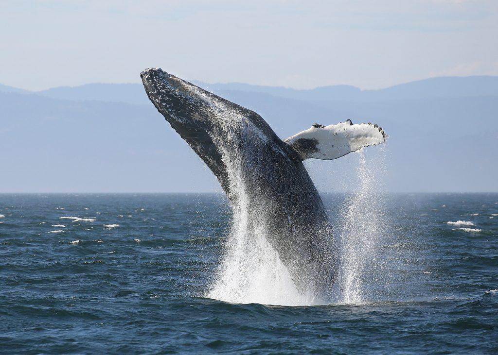 Zaui Software - Whale Breaching